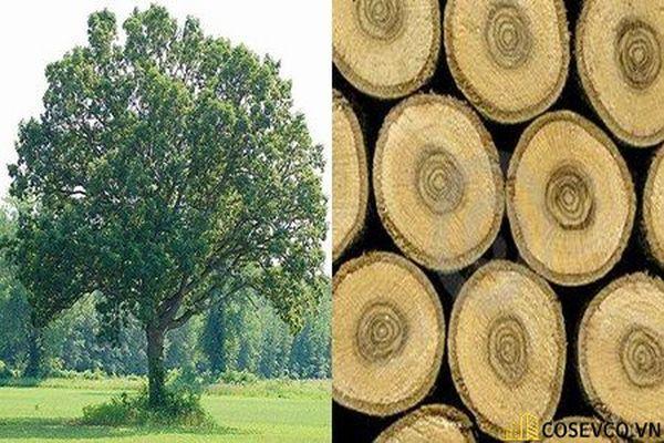 Gỗ sồi nga là loại gỗ nhập khẩu đang nổi lên như cồn trong thị trường nội thất sôi động