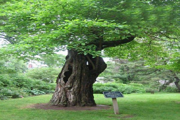 Cây gỗ to, có thể cao đến 30 m