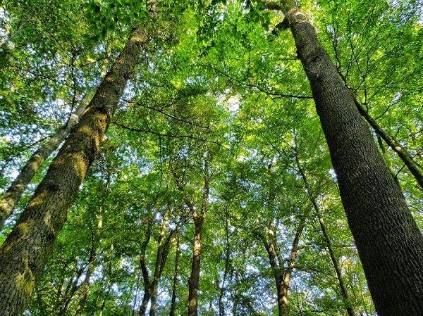 Cây gỗ xoan là gì?